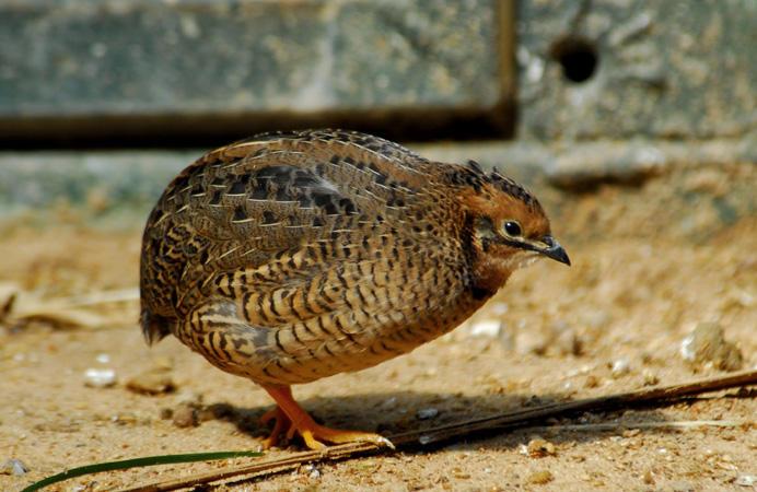 Japanese quail (Coturnix coturnix japonica)